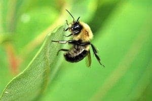 Bigstock feiert das 5 Millionste Foto - bigstock Bumble Bee 7930216